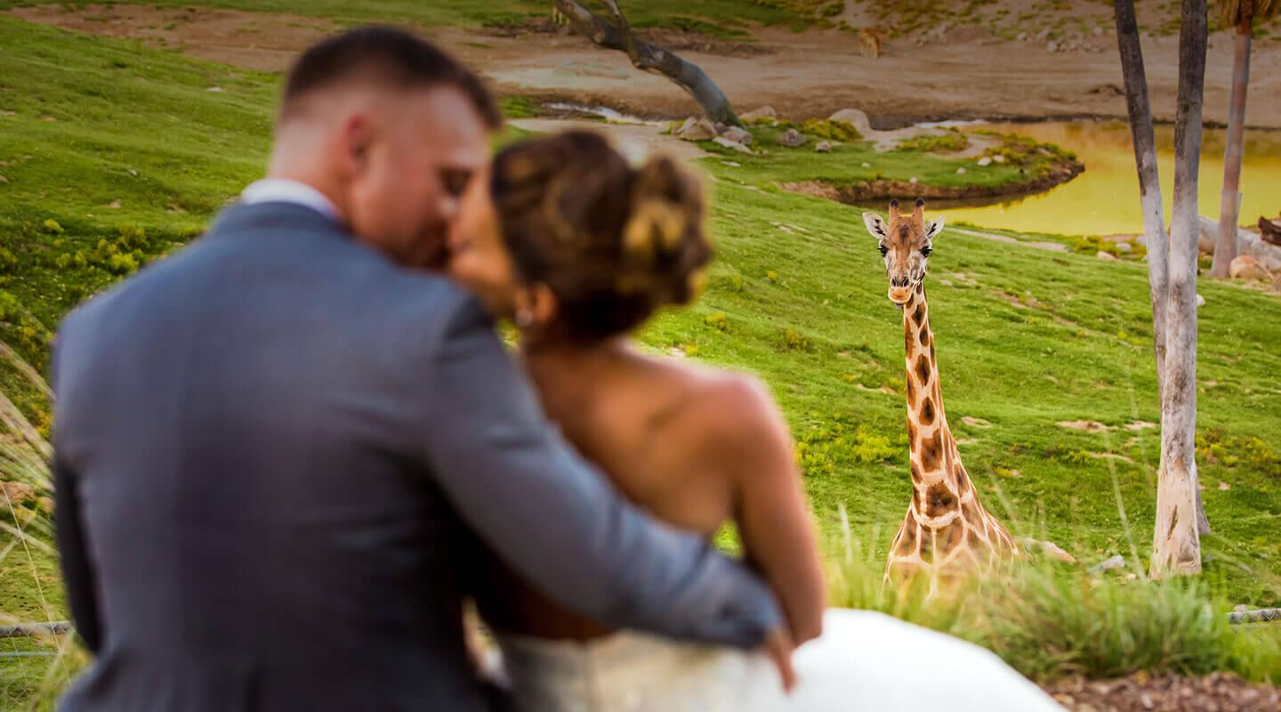 Groom and bride with giraffe looking at them in background