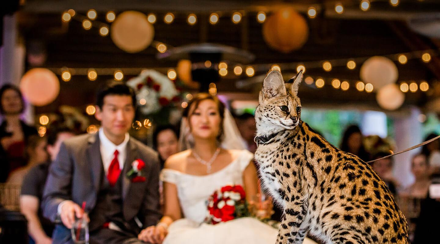 Groom and bride looking at a serval