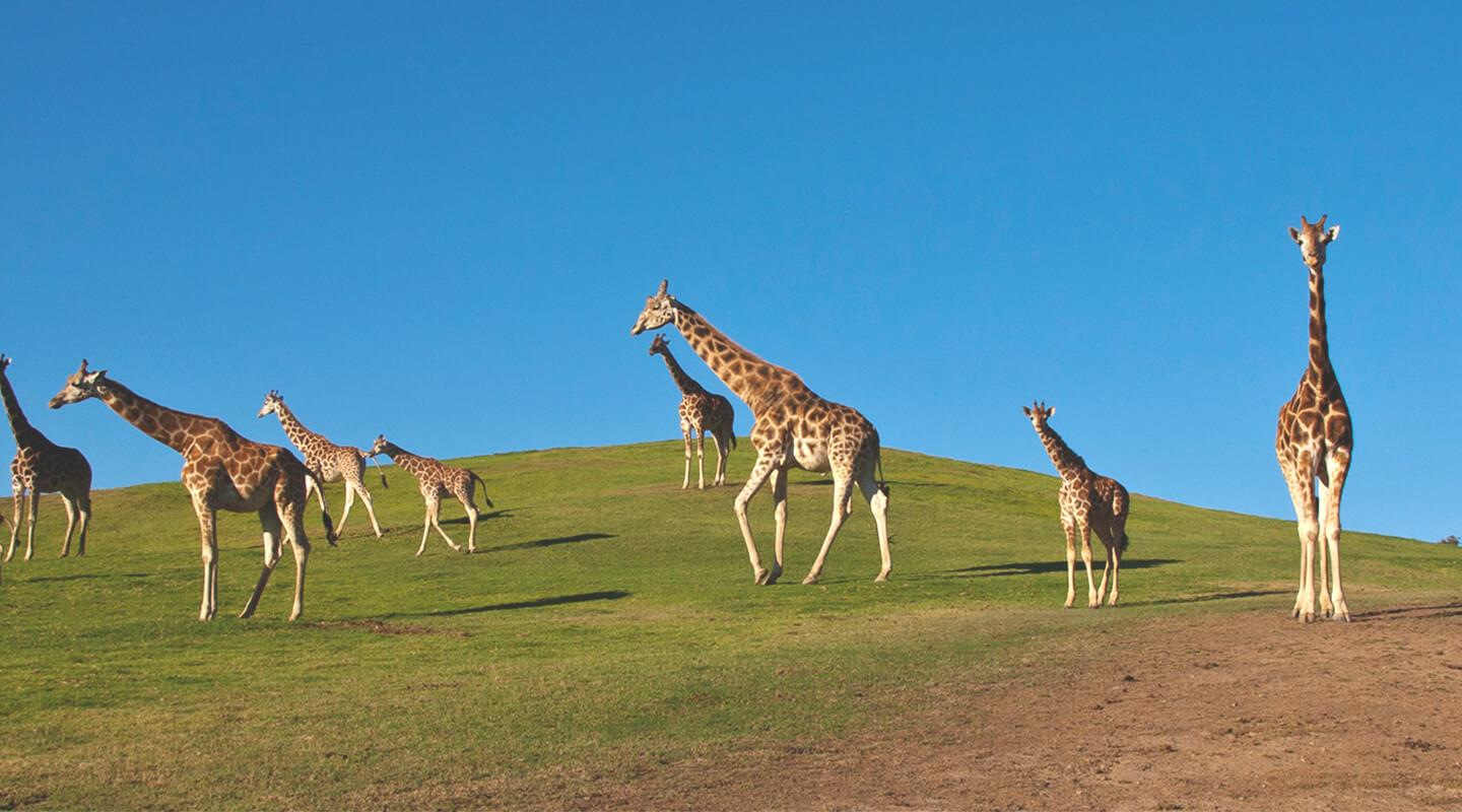 A large herd of giraffes walk across a green grassy hill