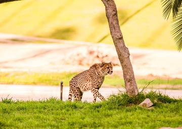 Cheetah walking across grass