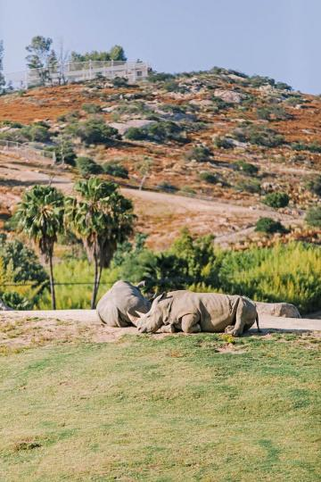Rhinos at the Safari Park
