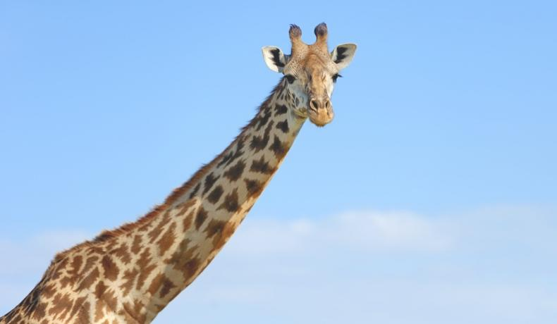 Giraffe against a sky